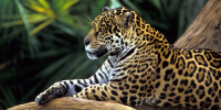 4074_Jaguar-In-Amazon-Rainforest_3_200x100