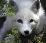ArcticFox_160