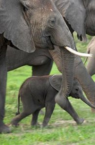 elephants-with-baby