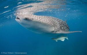 Whale Shark in Pacific Waters