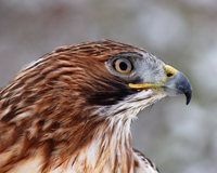 red-tailed-hawk-200x160