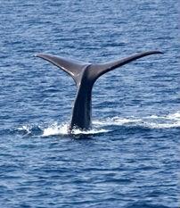sperm_whale_tail