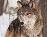 graywolfinsnow200