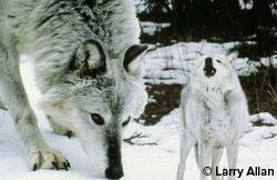 nat_gray_wolf_larryallan