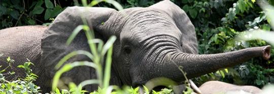 ivory_coast_elephant_move_header.jpg_3.jpe